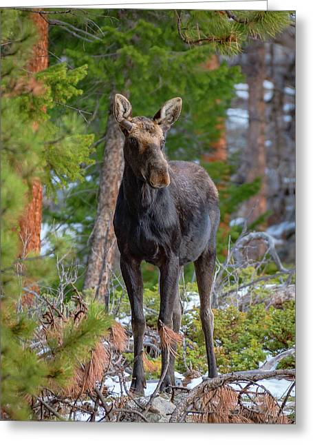 Young Moose In The Morning Forest Greeting Card