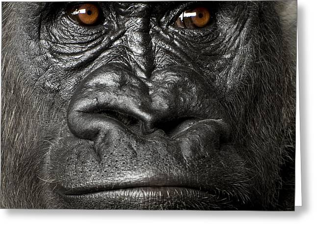 Young Silverback Gorilla In Front Of A Greeting Card