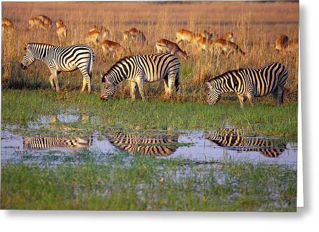 Zebras In Botswana Greeting Card