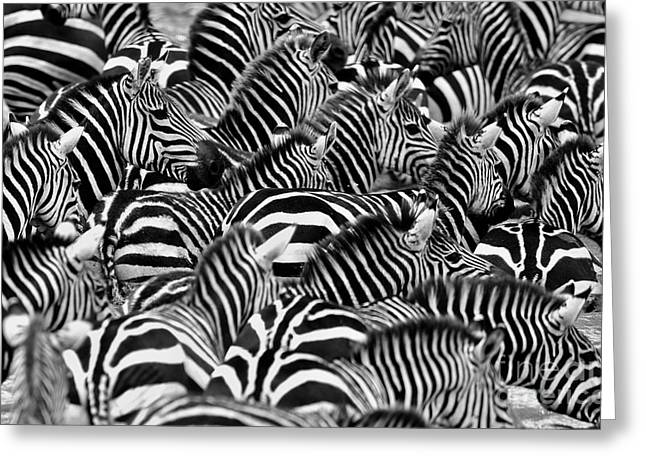 Zebras In The Big Herd During The Great Greeting Card