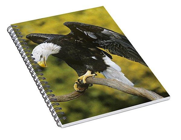 Bald Eagle In Perch Wildlife Rescue Spiral Notebook