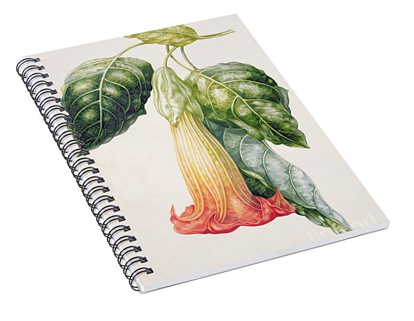 Thorn Apple Flower From Ecuador Datura Rosei Spiral Notebook