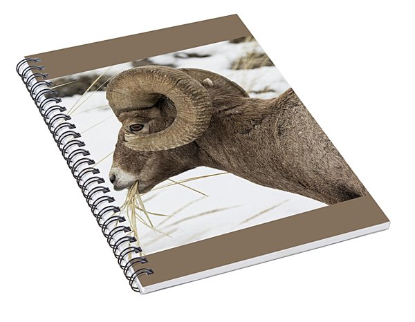 Big Horn Snacking In The Snow Spiral Notebook