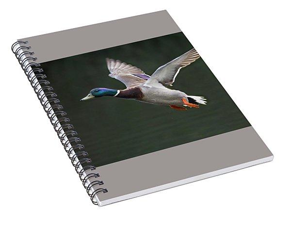 Mallard Drake In Flight Spiral Notebook