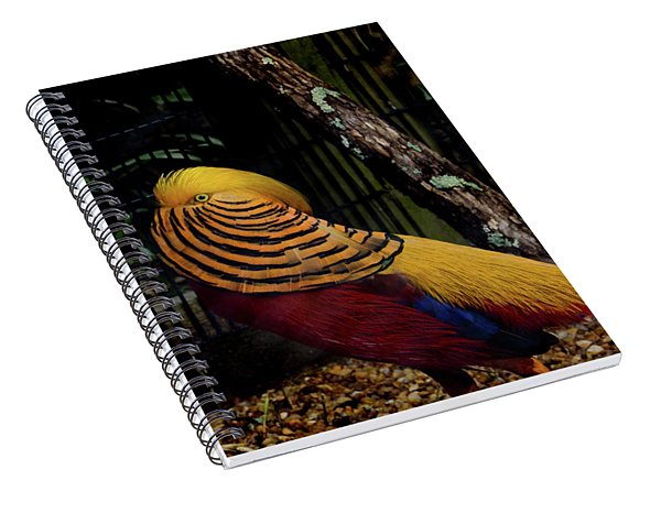 The Golden Pheasant Or Chinese Pheasant -atlanta Ga, Zoo Spiral Notebook