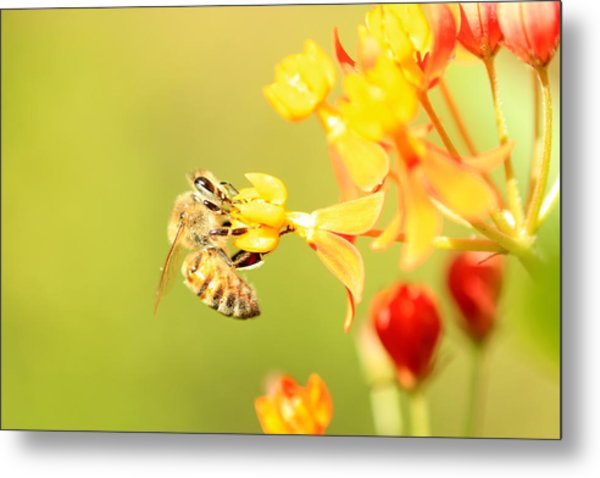 Bee On Milkweed Metal Print