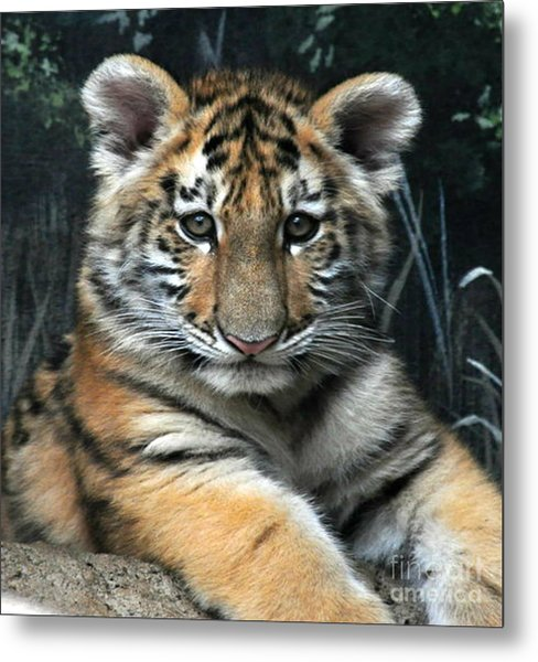 Bengal Tiger Cub Im The Baby Metal Print