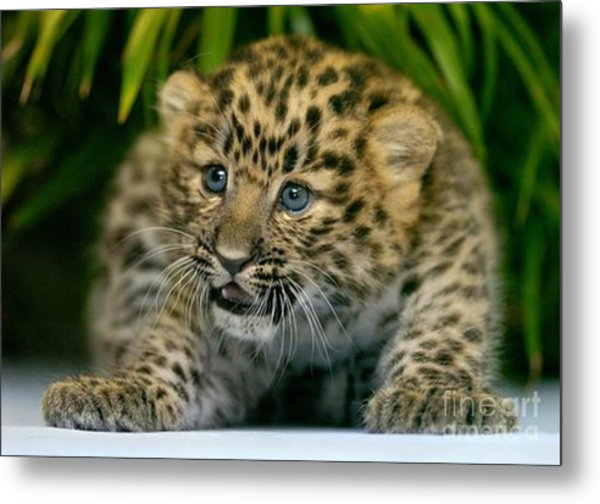 Cheetah Cub Im Gonna Getcha Metal Print