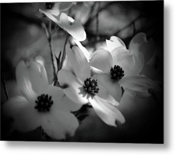Dogwood Blossoms-bk-wh-v Metal Print