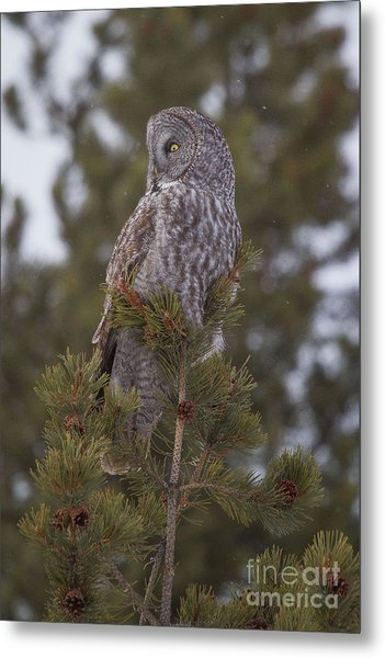 Metal Print featuring the photograph  Great Gray Owl 1 by Katie LaSalle-Lowery