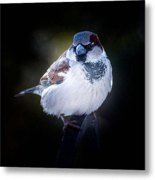 House Sparrow  Metal Print