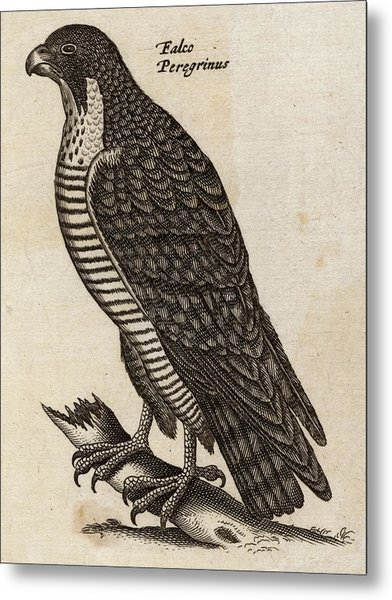 Peregrine Falcon (falco Peregrinus) Metal Print