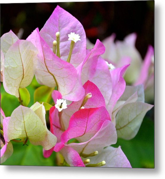 Pink  Bougainvillea ...with A Friend Metal Print