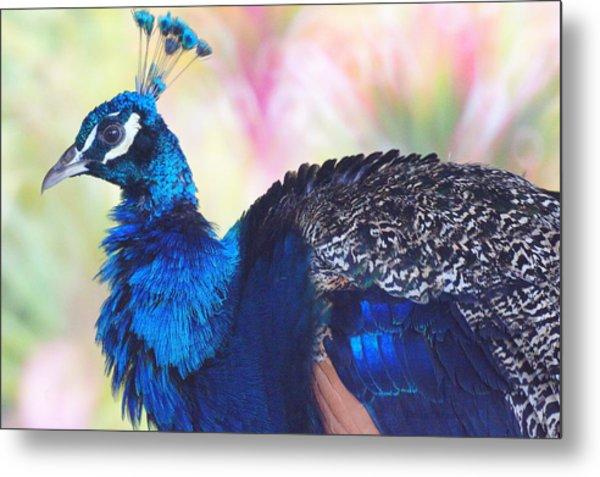 Prime Peacock Metal Print by DerekTXFactor Creative