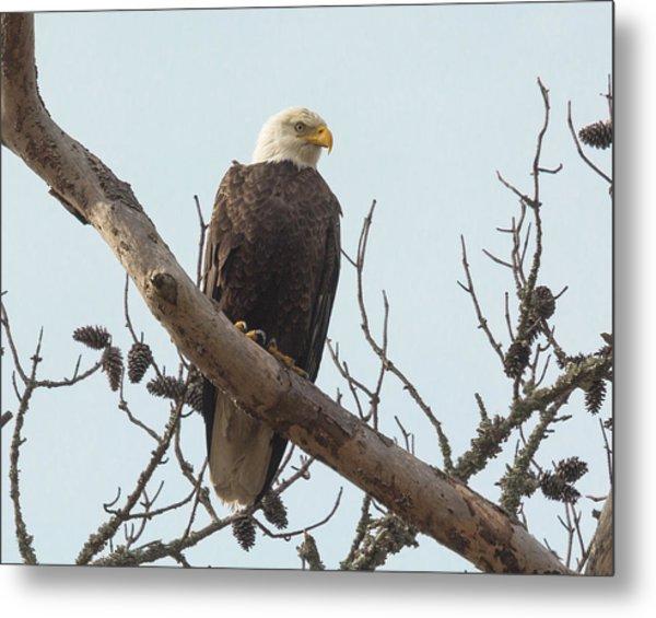 Resting Bald Eagle Metal Print