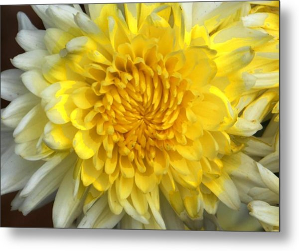 White mum flower image collections flower decoration ideas white mum flower photograph by johnson moya white mum flower metal print by johnson moya mightylinksfo mightylinksfo Choice Image
