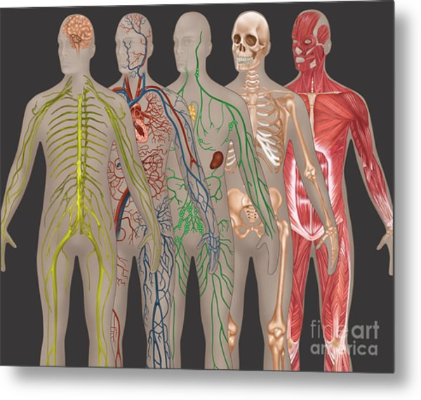 5 Body Systems In Male Anatomy Metal Print