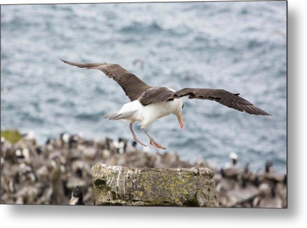 A Black Browed Albatross Metal Print