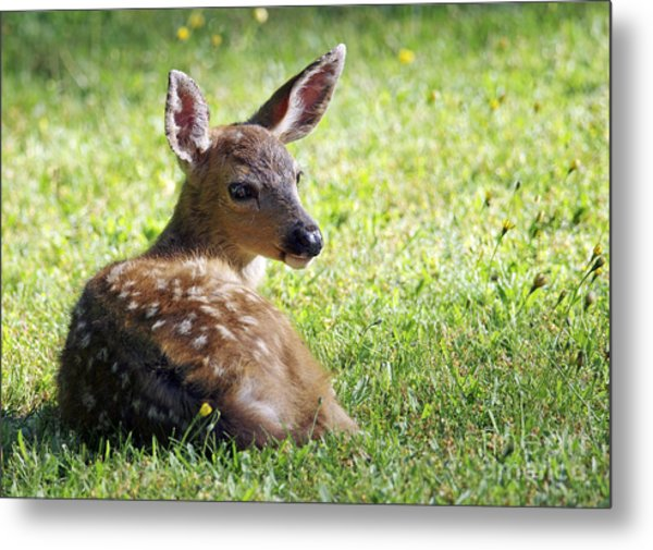 A Fawn On The Lawn Metal Print
