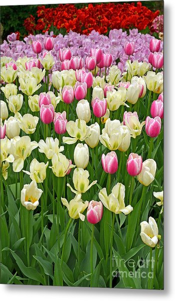 A Field Of Tulips Metal Print