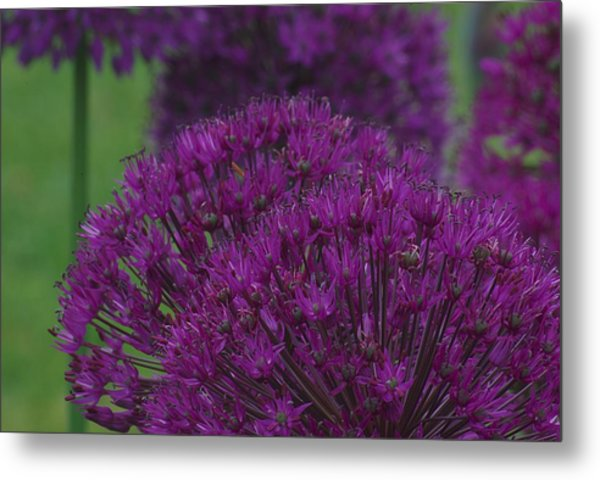Allium 2 Metal Print
