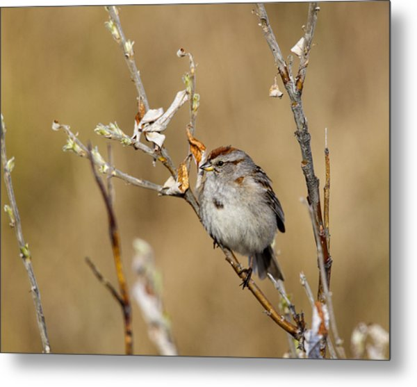 American Tree Sparrow Metal Print