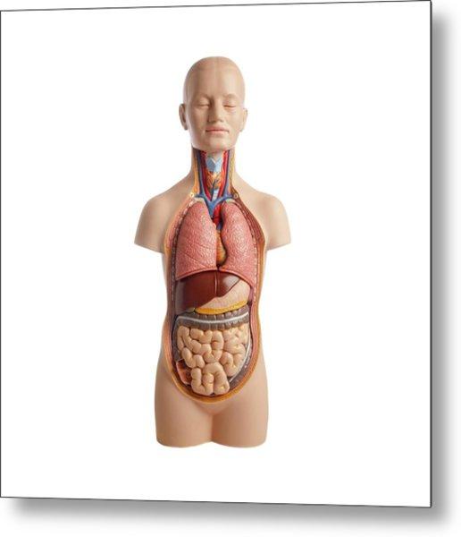 Anatomical Teaching Model Metal Print