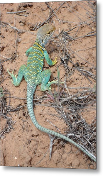 Another Collared Lizard Metal Print