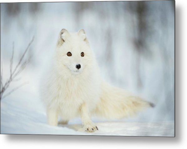 Arctic Fox In The Snow Metal Print by Dr P. Marazzi/science Photo Library