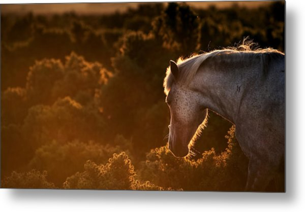 Beautiful Image Of New Forest Pony Horse Backlit By Rising Sun I Metal Print by Matthew Gibson