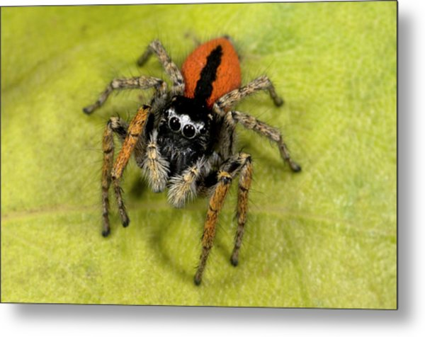 Beautiful Jumper Spider Metal Print