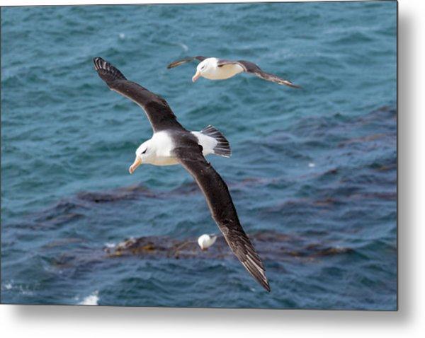 Black-browed Albatross (thalassarche Metal Print