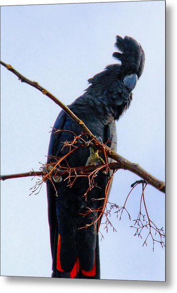 Metal Print featuring the photograph Black Cockatoo by Debbie Cundy