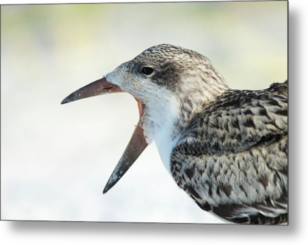 Black Skimmer Fledgling Waiting Metal Print