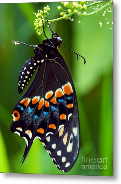 Black Swollowtail  Metal Print