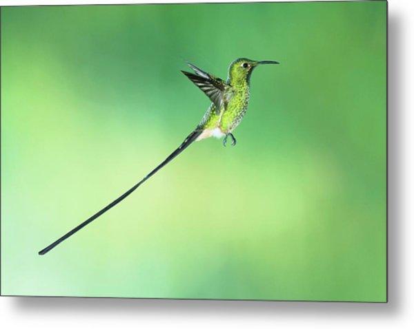 Black-tailed Trainbearer Hummingbird Metal Print by Tony Camacho/science Photo Library