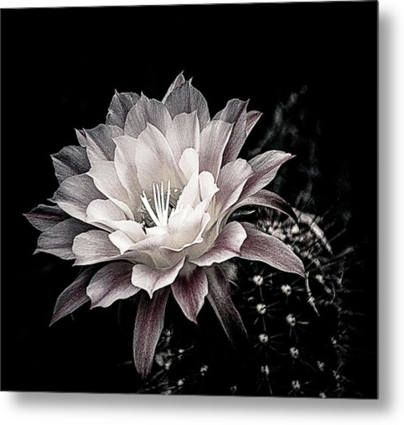 Blooming Cactus Metal Print