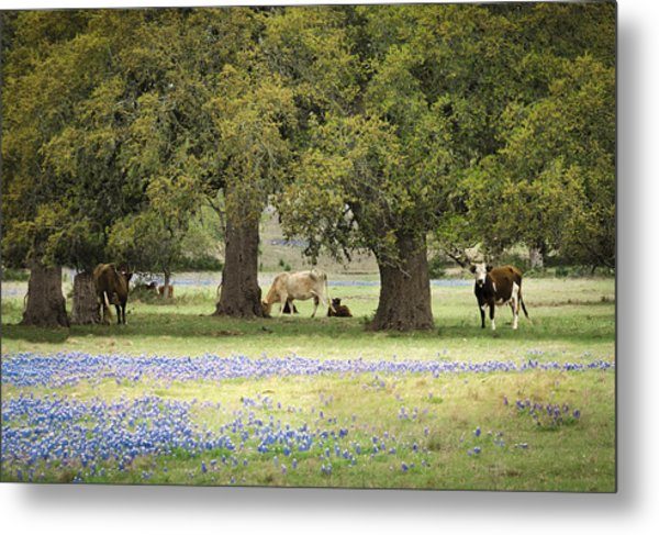 Bluebonnets And Bovines Metal Print