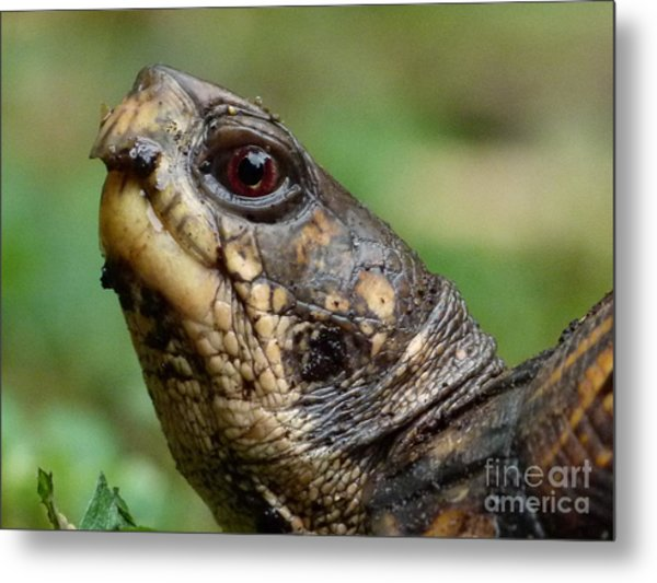 Box Turtle Metal Print