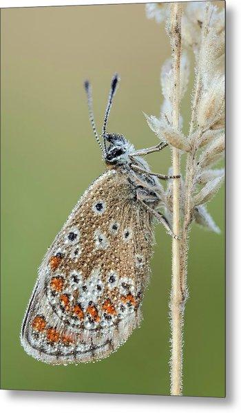 Brown Argus Butterfly Metal Print
