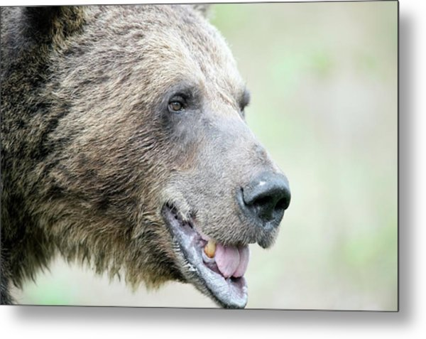Brown Bear Metal Print by Dr P. Marazzi/science Photo Library