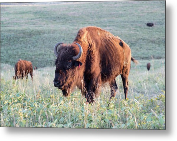 Buffalo In Custer State Park (large Metal Print