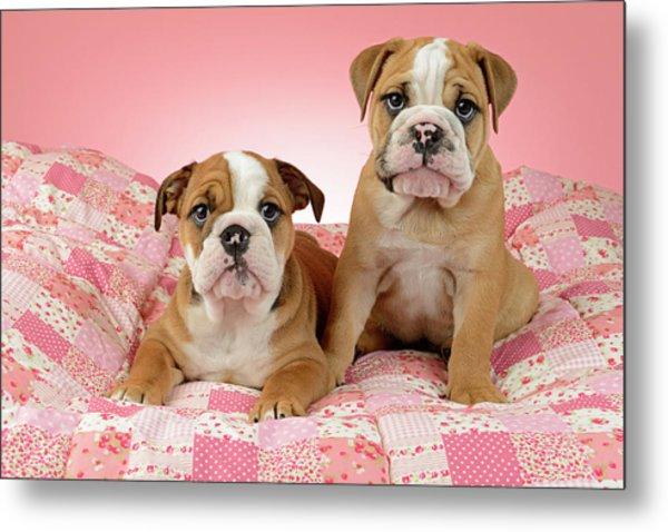 Bulldog Puppies Pink Bed Metal Print