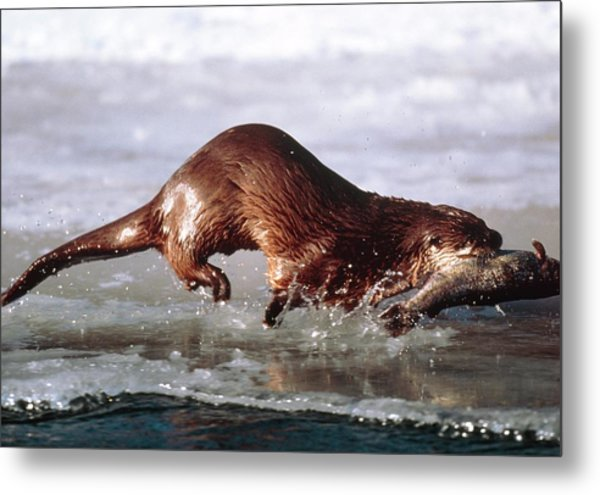 Canadian Otter Metal Print by William Ervin/science Photo Library