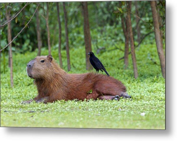 Capybara Metal Print