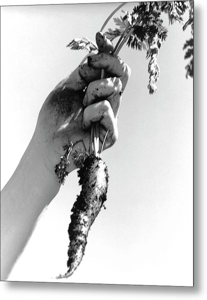 Carrot Harvest Metal Print by Cristina Pedrazzini/science Photo Library
