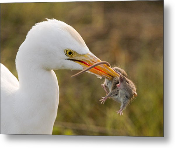 Cattle Egret Metal Print