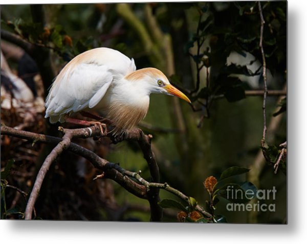 Cattle Egret In A Tree Metal Print