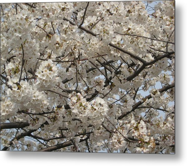 Cherry Blossoms Metal Print by DustyFootPhotography
