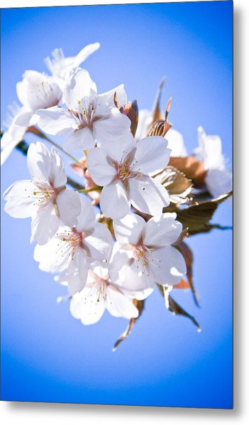 Cherry Tree Blossoms Close Up Metal Print